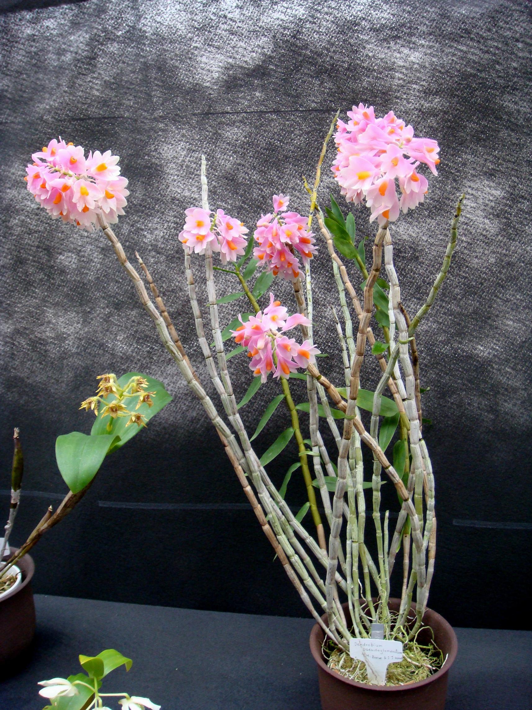 http://orchids.la.coocan.jp/Dendrobium/Dendrobium%20psuedoglomeratum/DSC03199.JPG
