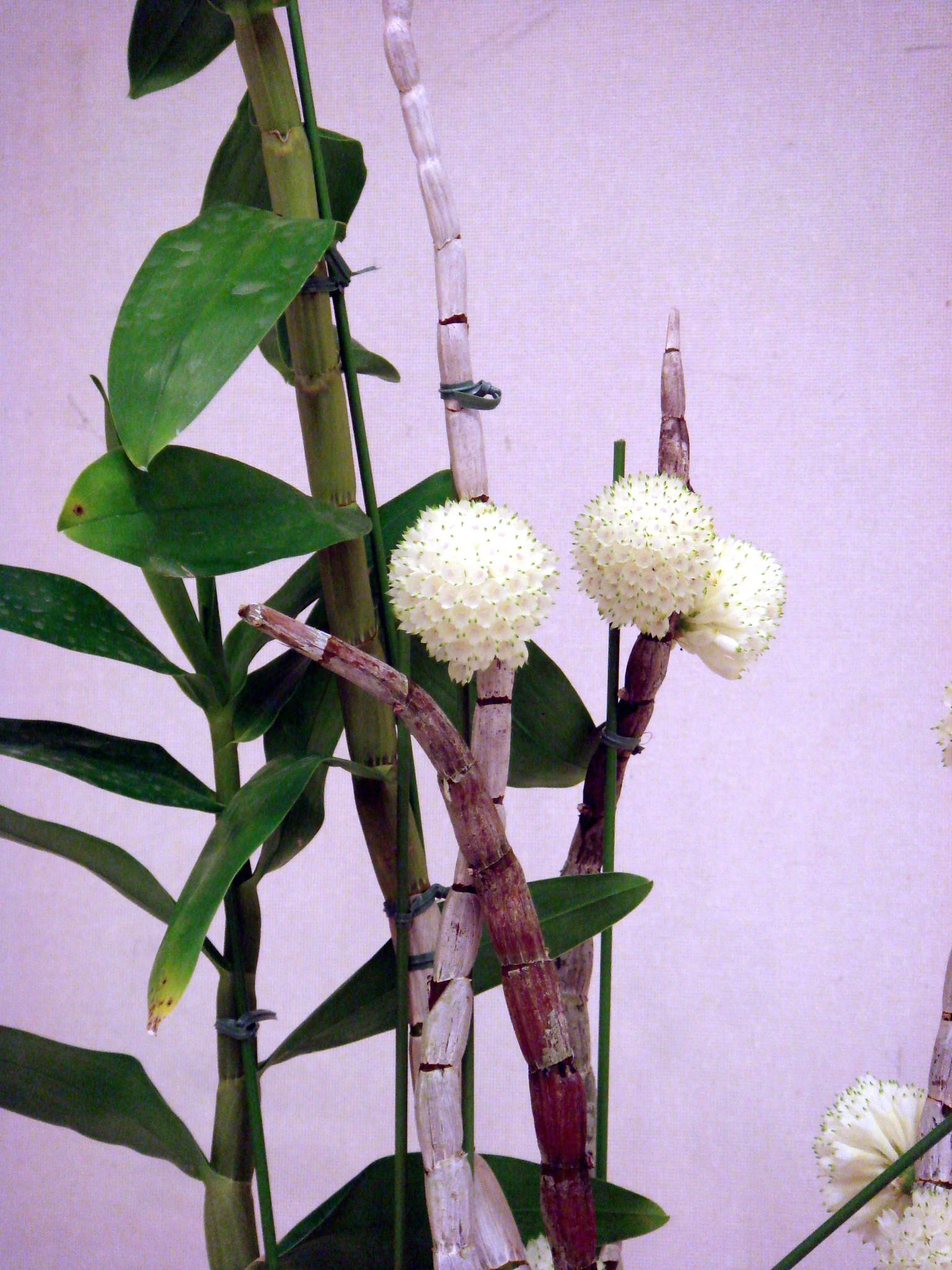 http://orchids.la.coocan.jp/Dendrobium/Dendrobium%20purpureum%20album/DSC00180.JPG