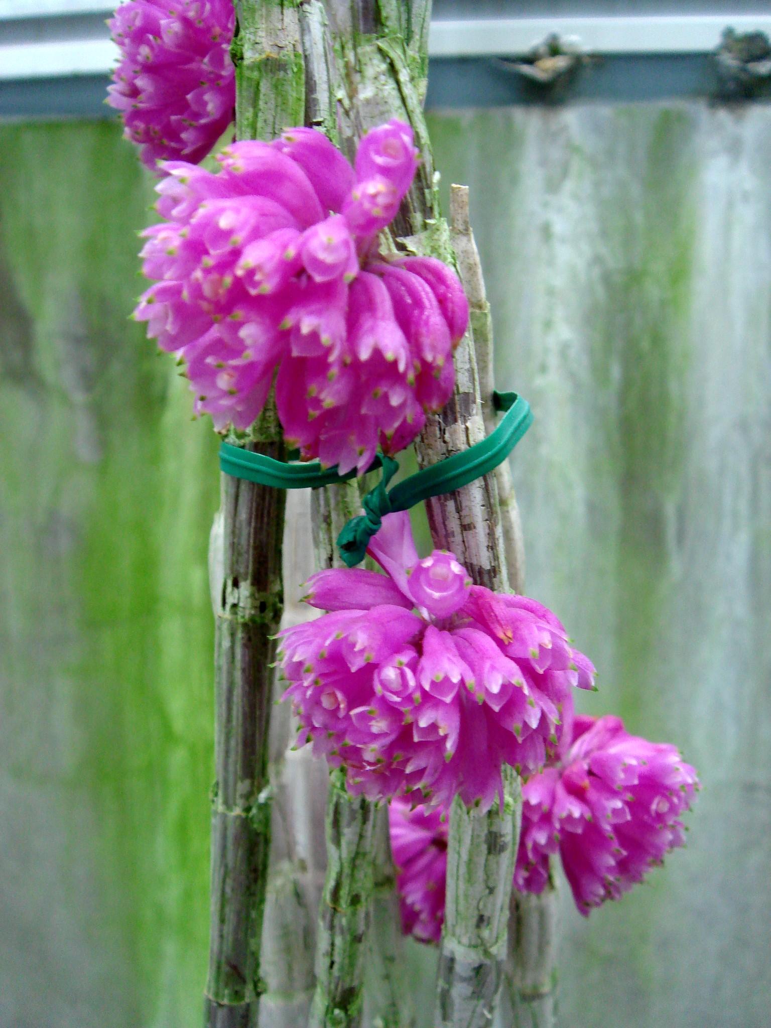 http://orchids.la.coocan.jp/Dendrobium/Dendrobium%20purpureum/DSC04385.JPG