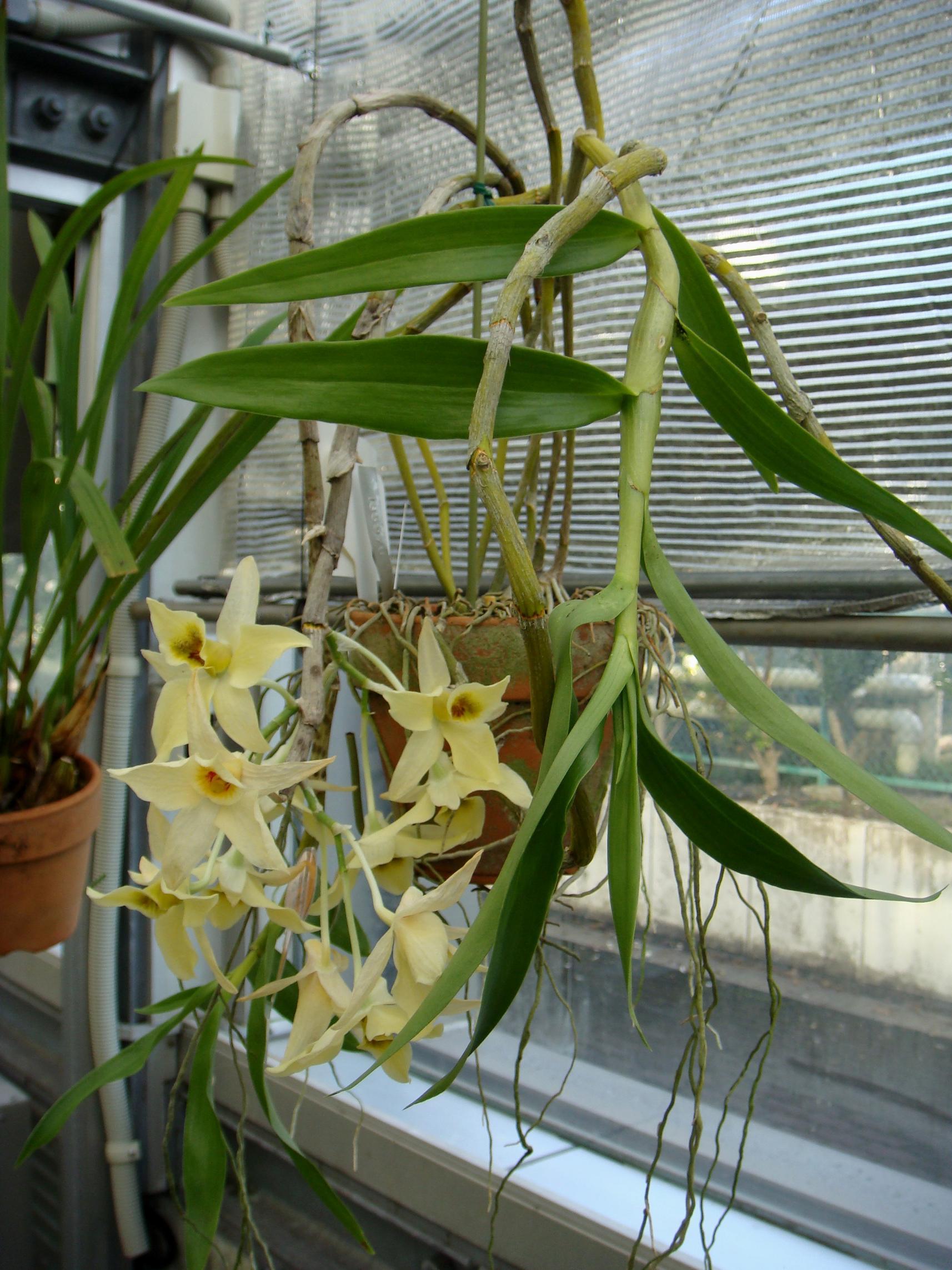 http://orchids.la.coocan.jp/Dendrobium/Dendrobium%20rhombeum/DSC04674.JPG