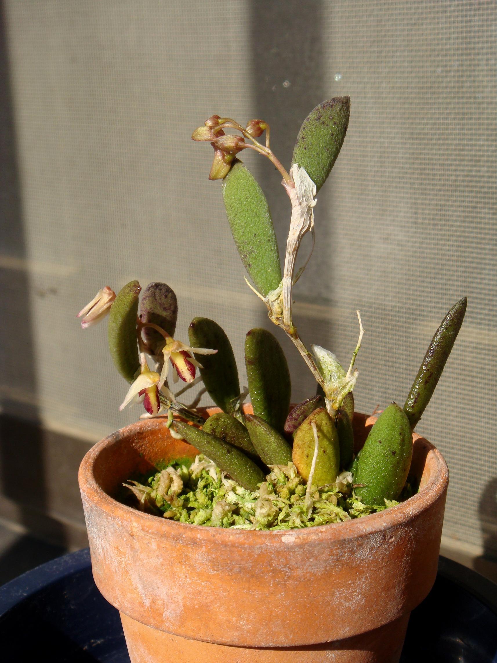 http://orchids.la.coocan.jp/Dendrobium/Dendrobium%20rigidum/DSC05807.JPG