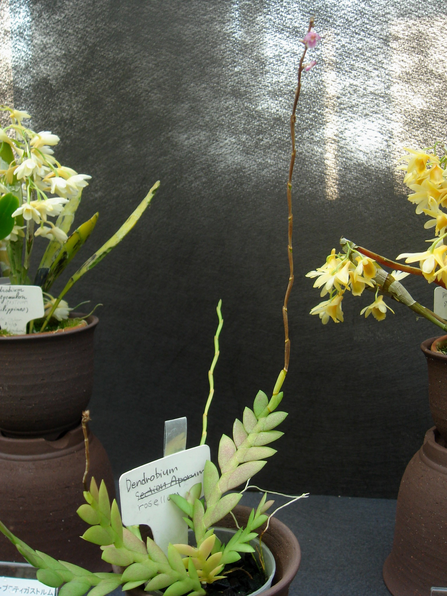 http://orchids.la.coocan.jp/Dendrobium/Dendrobium%20rosellum/DSC01412.JPG