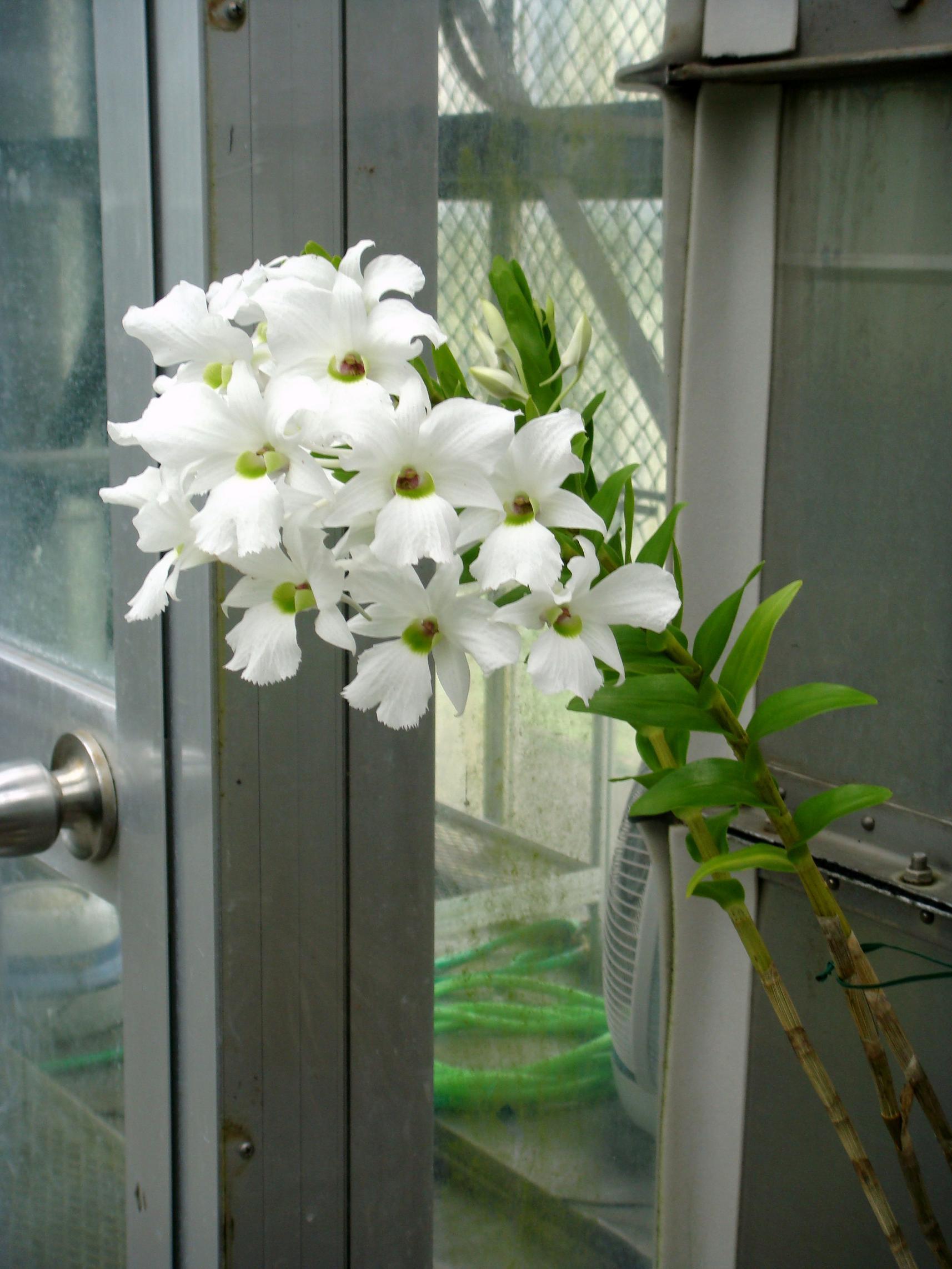 http://orchids.la.coocan.jp/Dendrobium/Dendrobium%20sanderae%20luzonicum/DSC06432.JPG