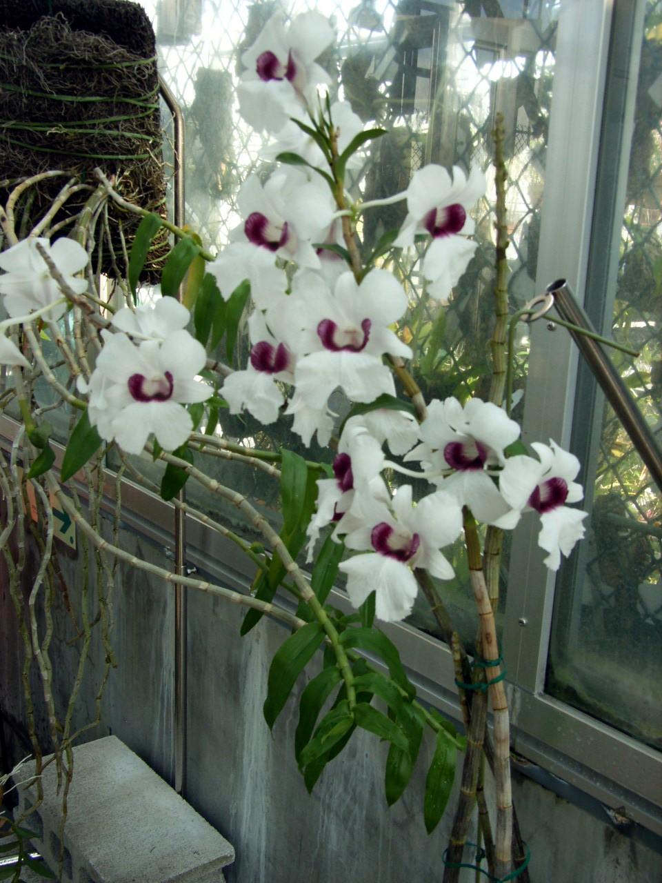 http://orchids.la.coocan.jp/Dendrobium/Dendrobium%20sanderae%20major/R0054593.JPG