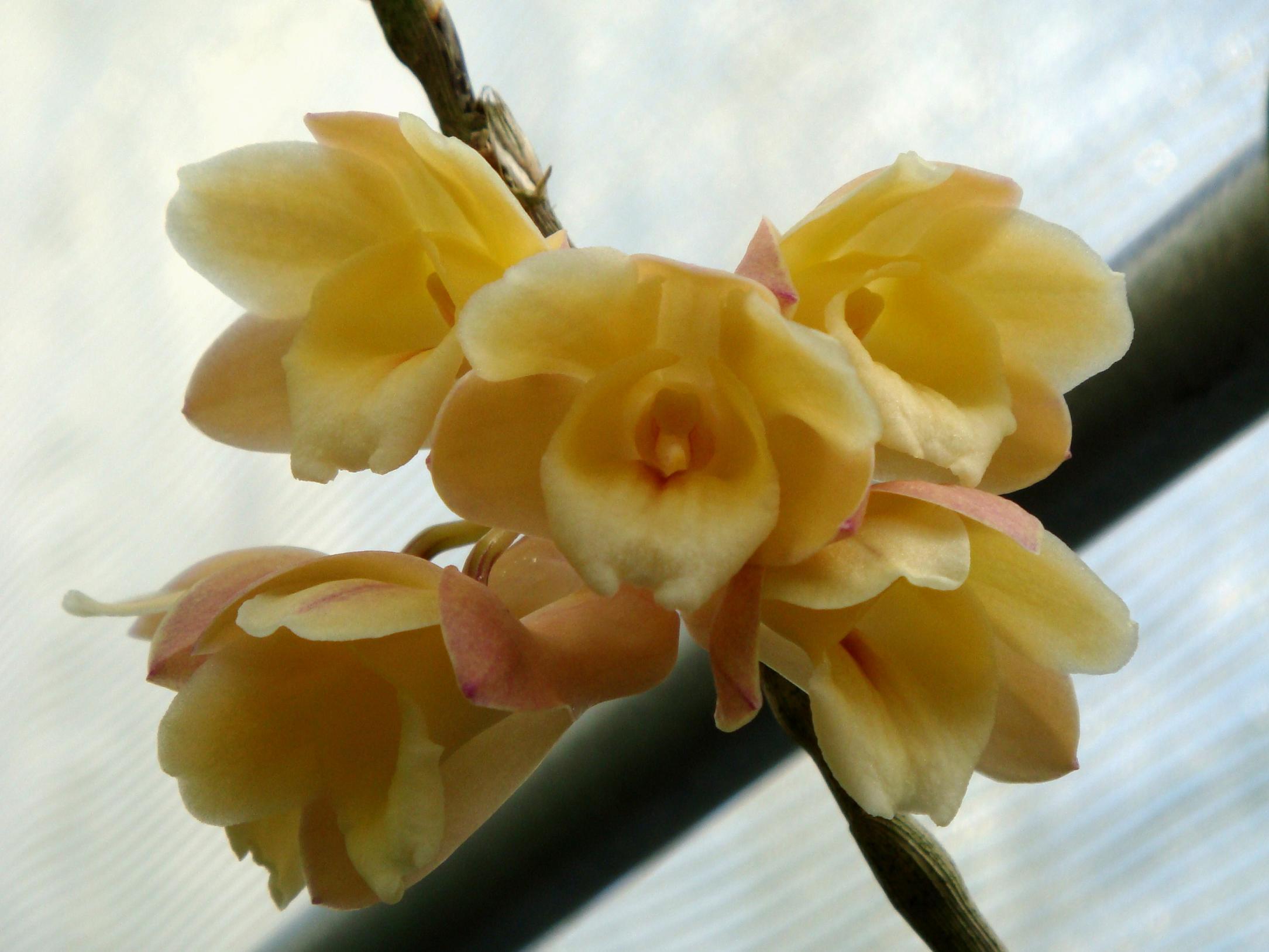 http://orchids.la.coocan.jp/Dendrobium/Dendrobium%20sanguinolentum/DSC04658.JPG