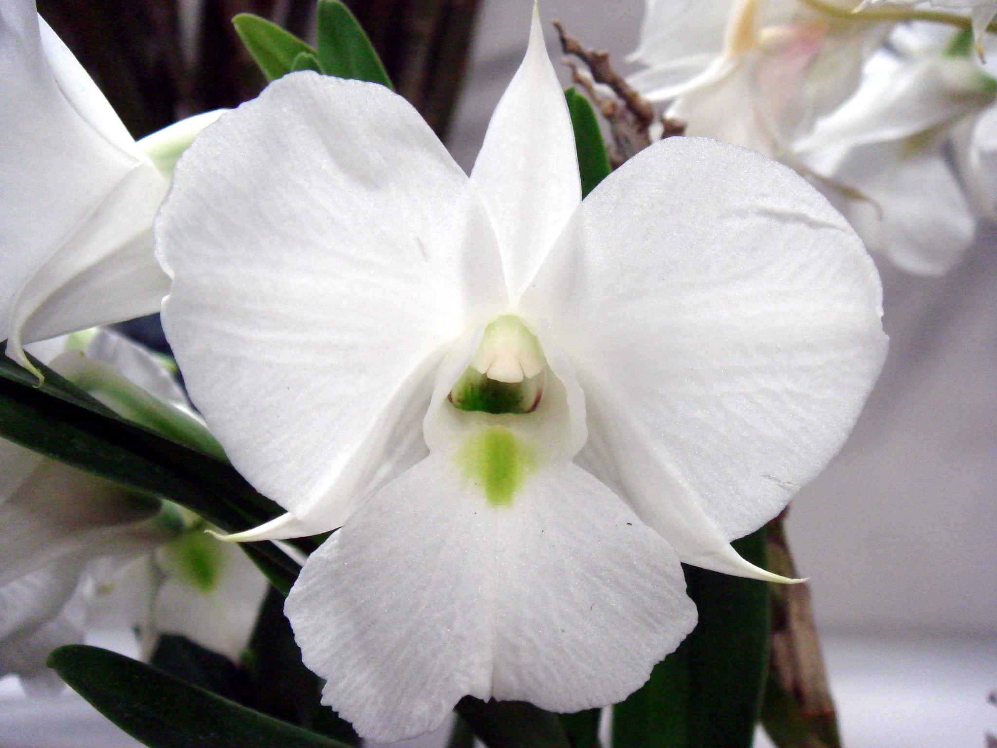 http://orchids.la.coocan.jp/Dendrobium/Dendrobium%20schuetzei/DSC06474.JPG