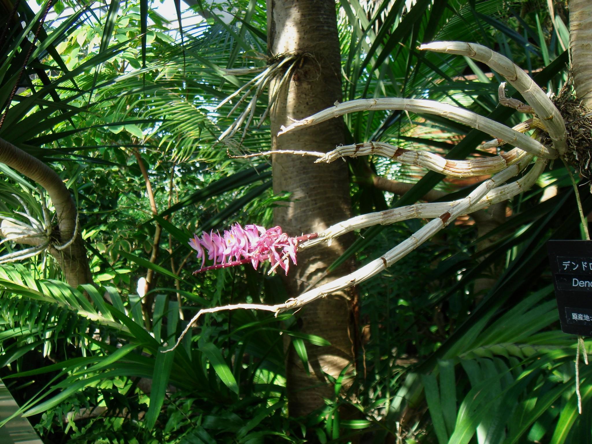 http://orchids.la.coocan.jp/Dendrobium/Dendrobium%20secundum/DSC09291.JPG