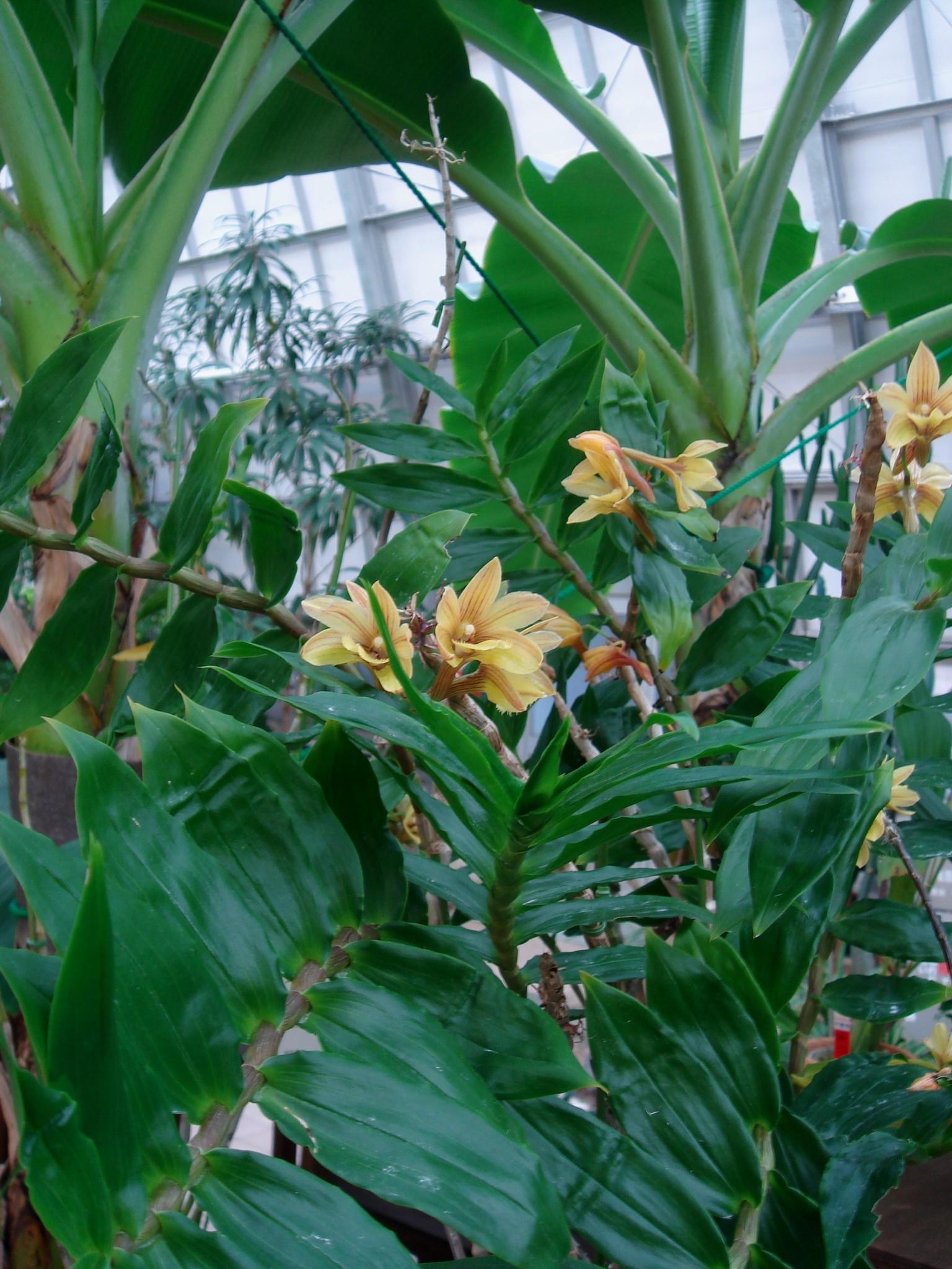 http://orchids.la.coocan.jp/Dendrobium/Dendrobium%20serratilabium/DSC04096.JPG