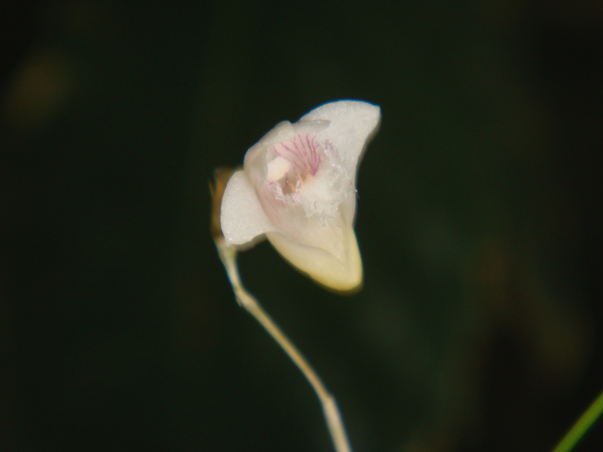 http://orchids.la.coocan.jp/Dendrobium/Dendrobium%20setifolium/DSC00995.JPG