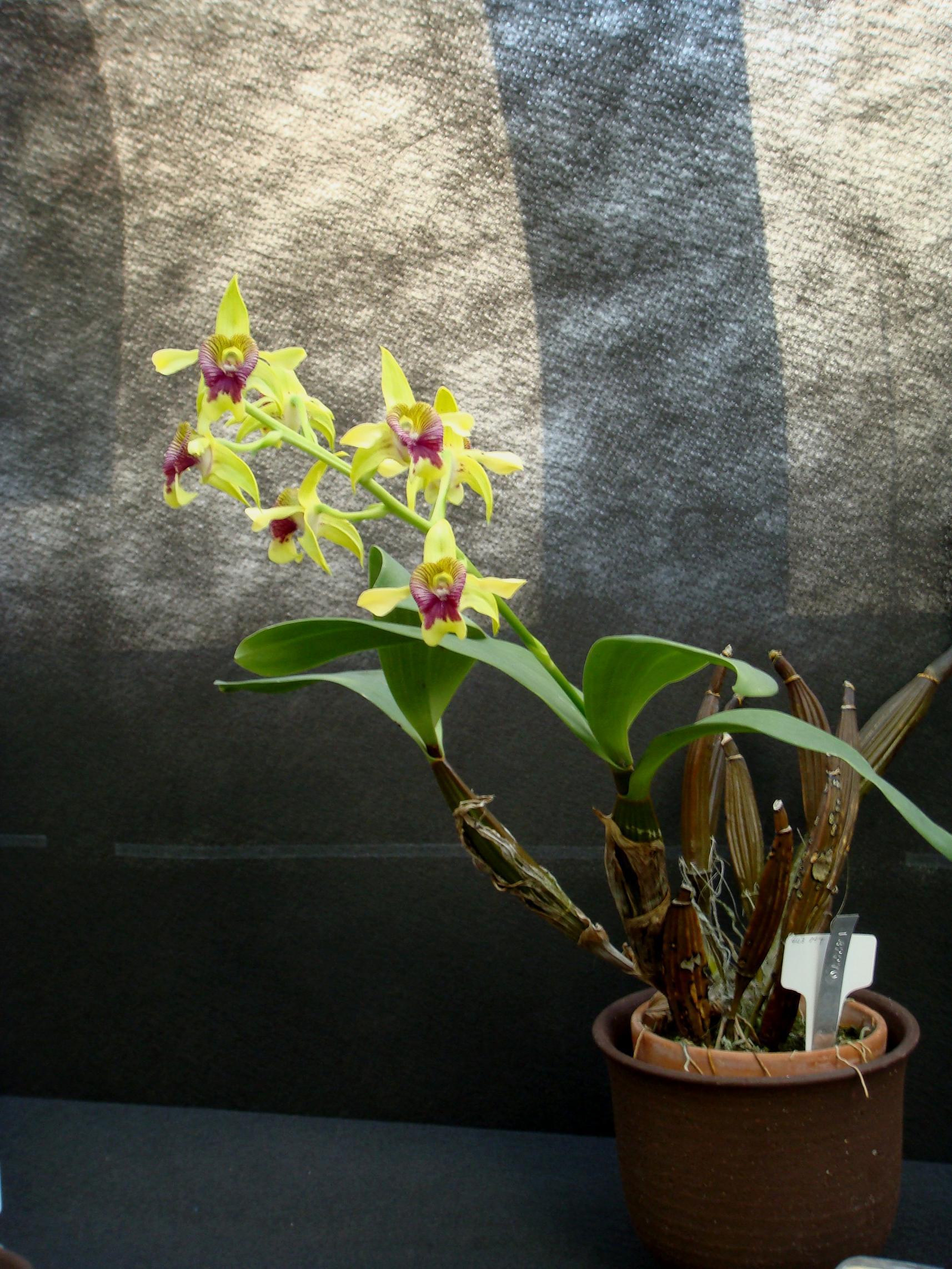 http://orchids.la.coocan.jp/Dendrobium/Dendrobium%20shiraishii/DSC02811.JPG