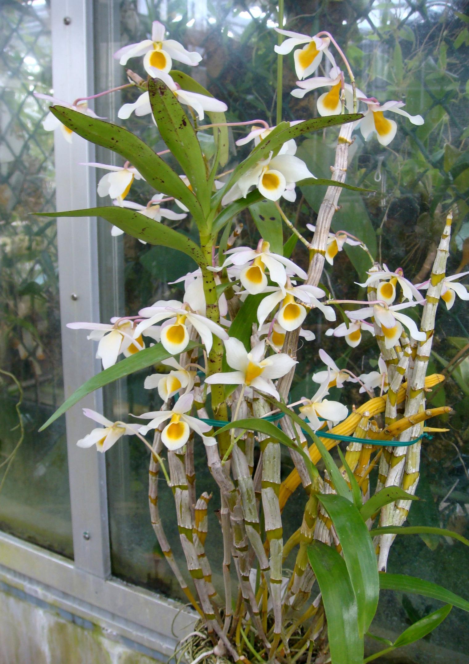 http://orchids.la.coocan.jp/Dendrobium/Dendrobium%20signatum/DSC08582.JPG