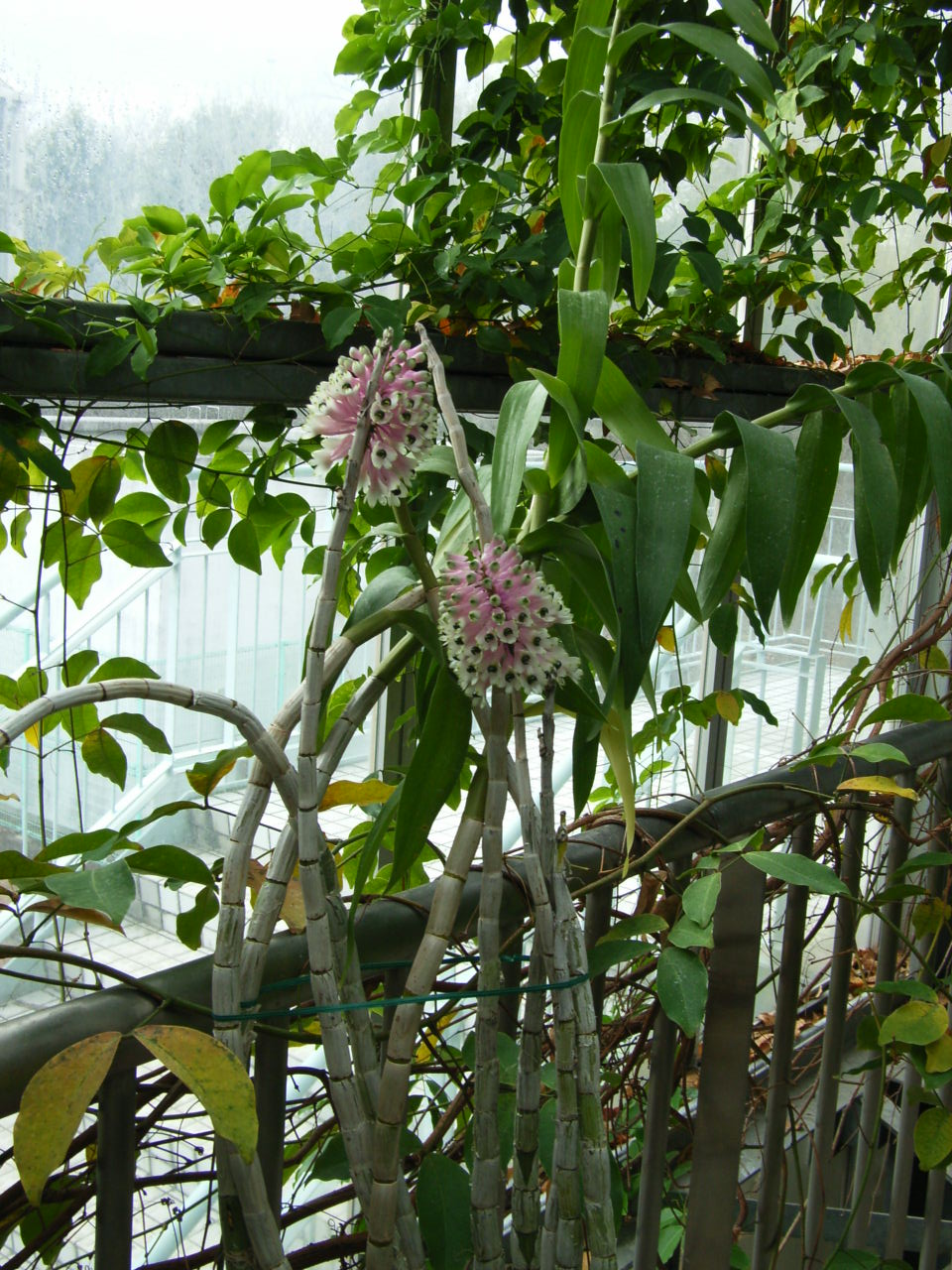 http://orchids.la.coocan.jp/Dendrobium/Dendrobium%20smilliae/R0054108.JPG