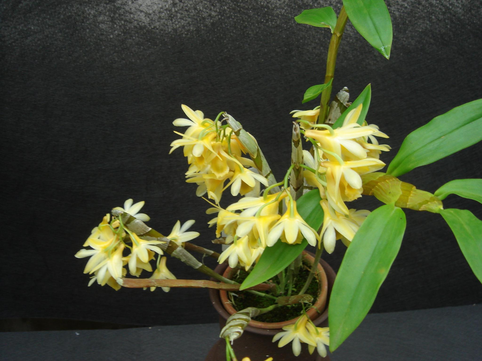 http://orchids.la.coocan.jp/Dendrobium/Dendrobium%20speckmaieri/DSC01362.JPG