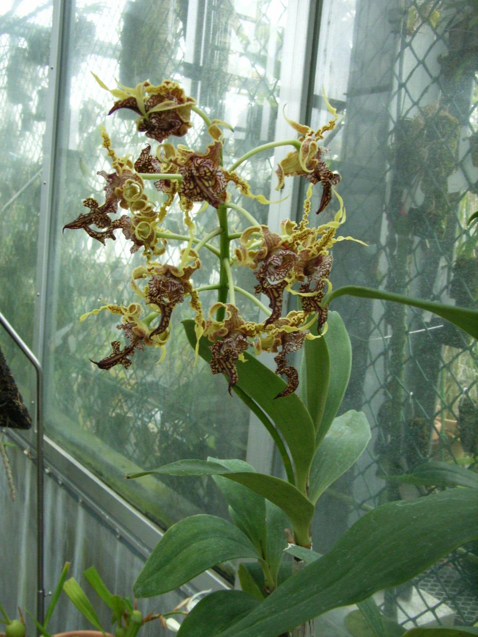 http://orchids.la.coocan.jp/Dendrobium/Dendrobium%20spectabile/R0054143.JPG