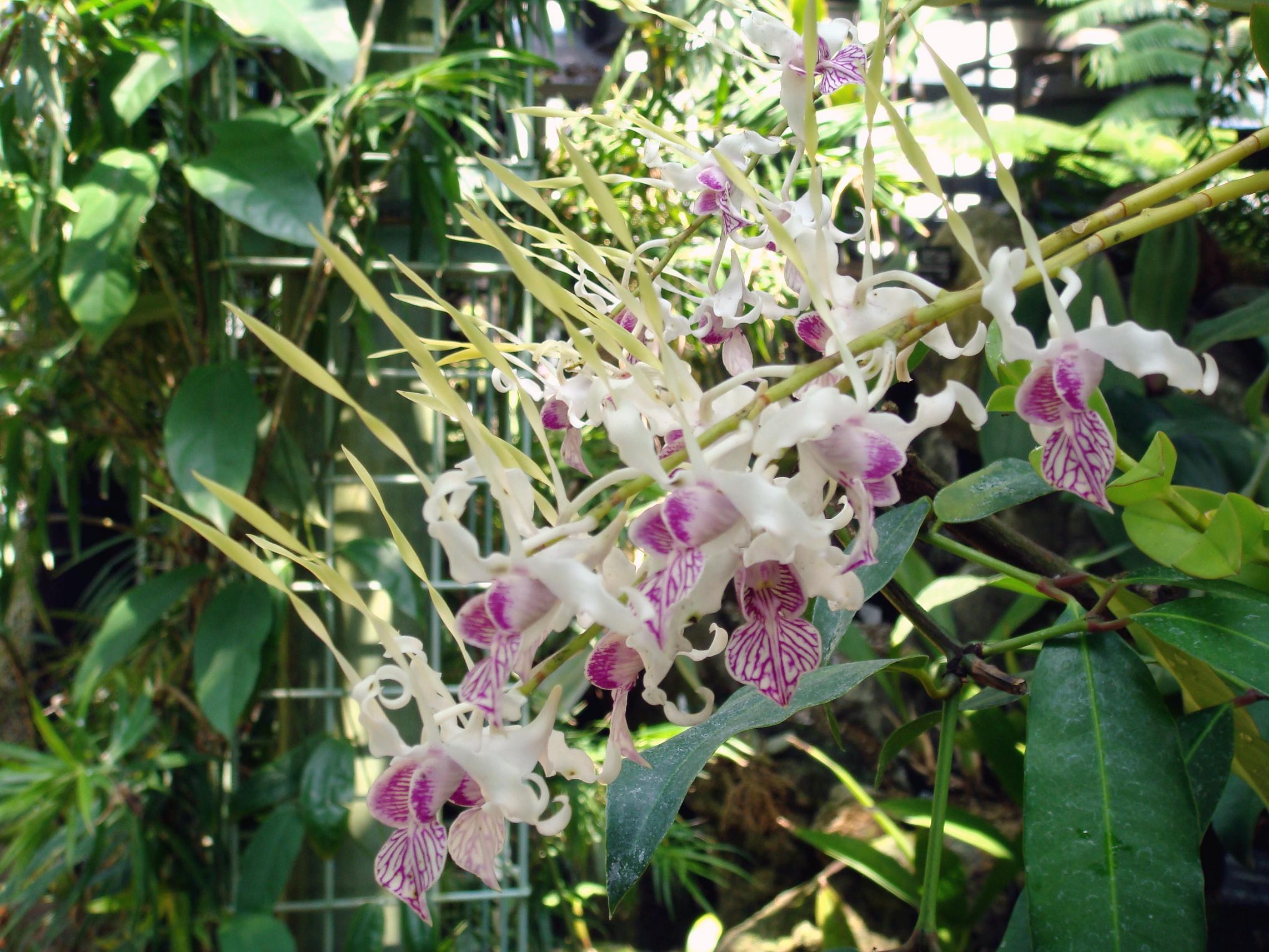 http://orchids.la.coocan.jp/Dendrobium/Dendrobium%20stratiotes/DSC07240.JPG