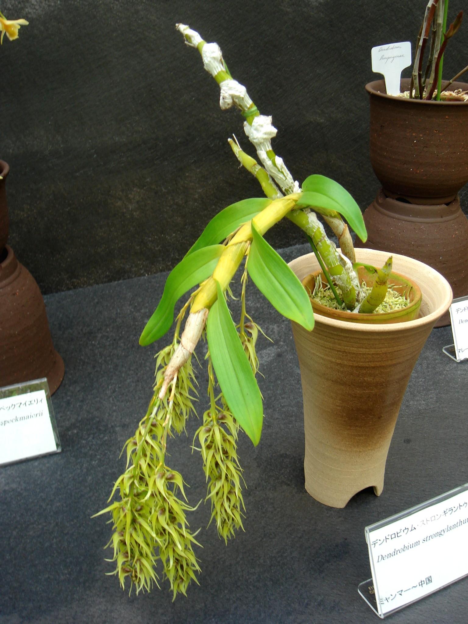 http://orchids.la.coocan.jp/Dendrobium/Dendrobium%20strongylanthum/DSC01704.JPG