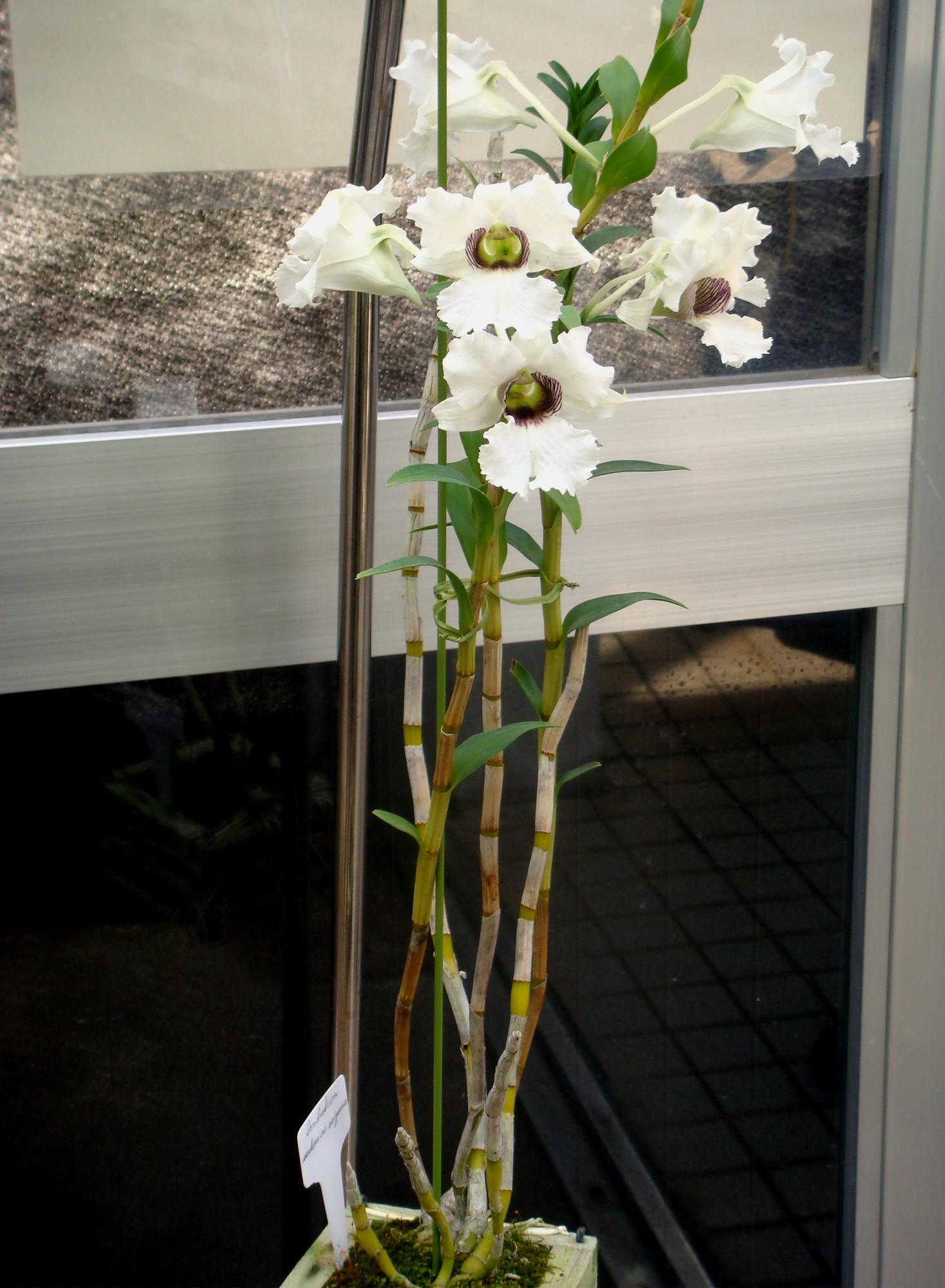 http://orchids.la.coocan.jp/Dendrobium/Dendrobium%20surigaense/DSC07677.JPG