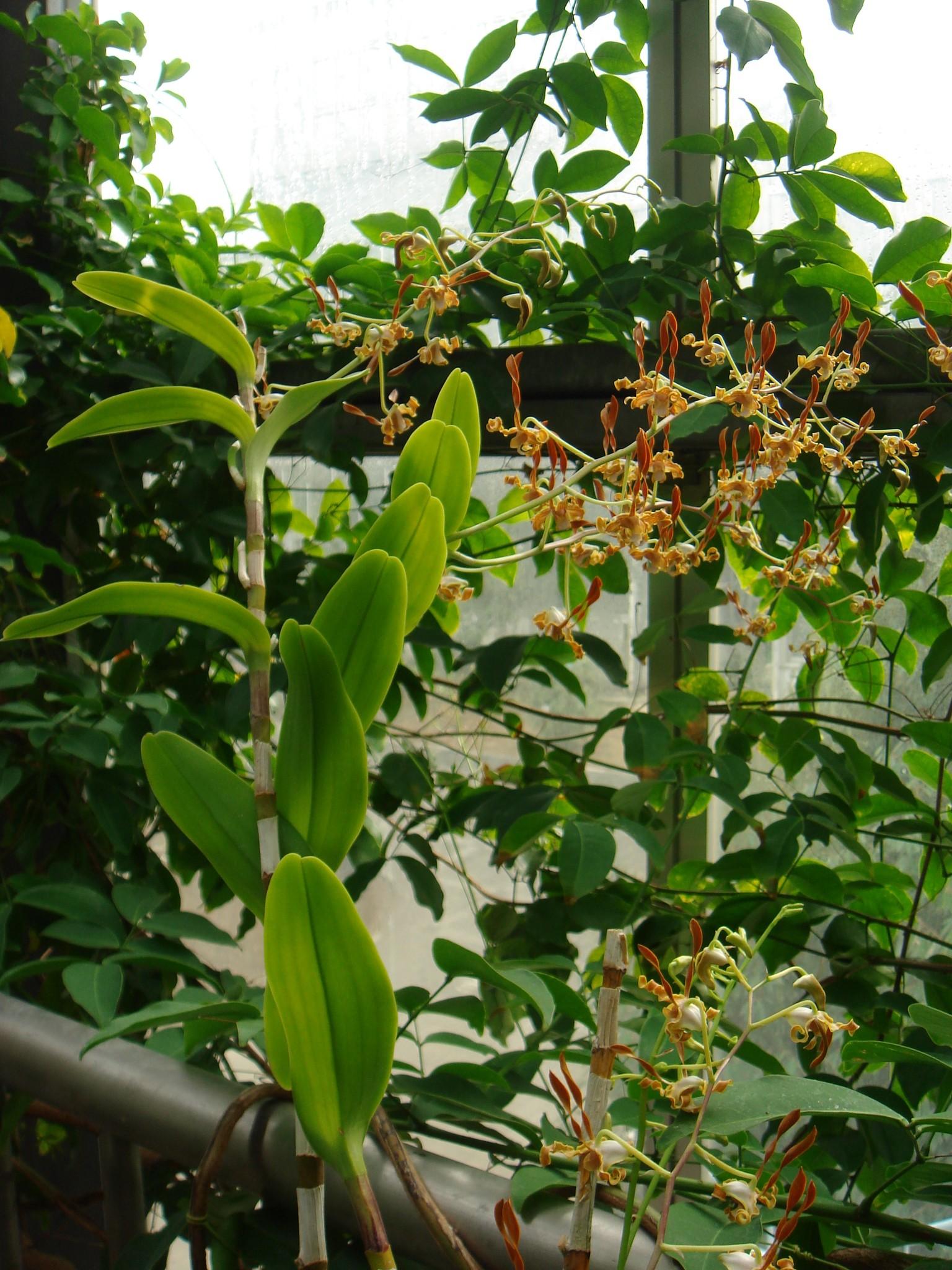 http://orchids.la.coocan.jp/Dendrobium/Dendrobium%20tangerinum/DSC04240.JPG