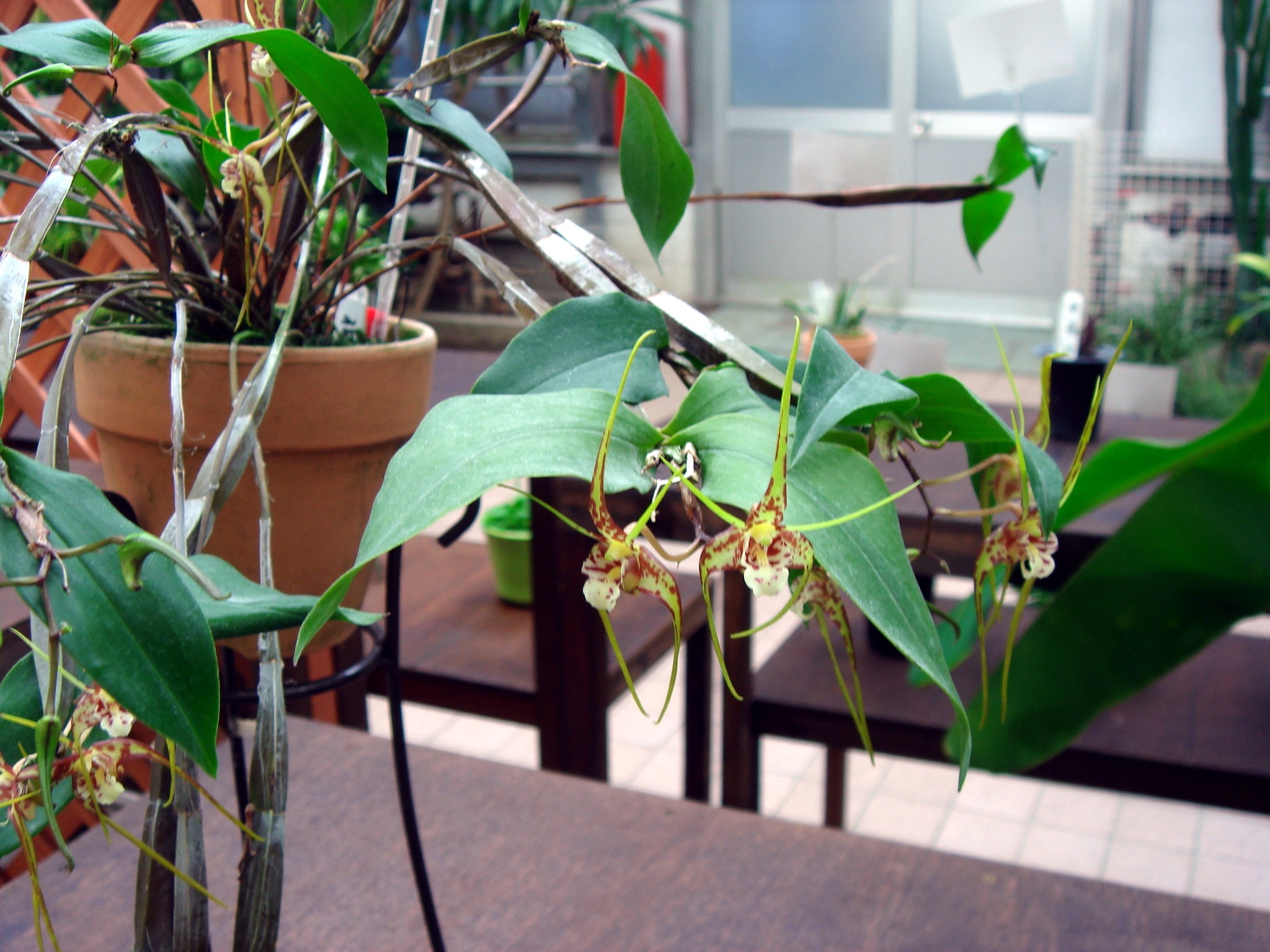 http://orchids.la.coocan.jp/Dendrobium/Dendrobium%20tetragonum%20giganteum/DSC04107.JPG