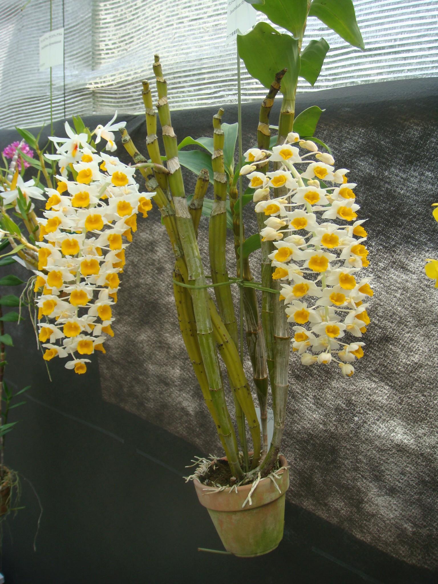 http://orchids.la.coocan.jp/Dendrobium/Dendrobium%20thyrsiflorum/DSC05019.JPG
