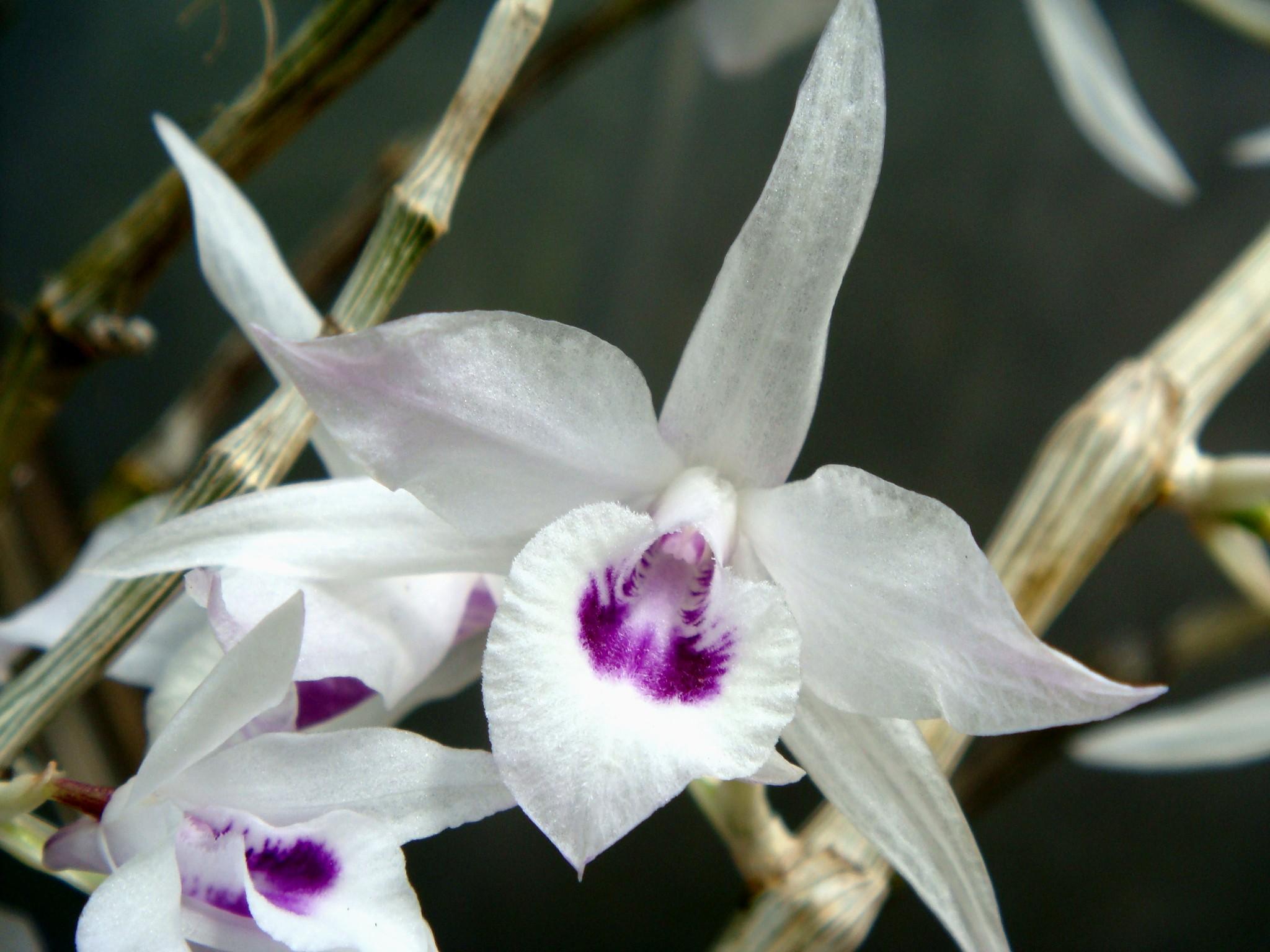 http://orchids.la.coocan.jp/Dendrobium/Dendrobium%20transparens/DSC04761.JPG