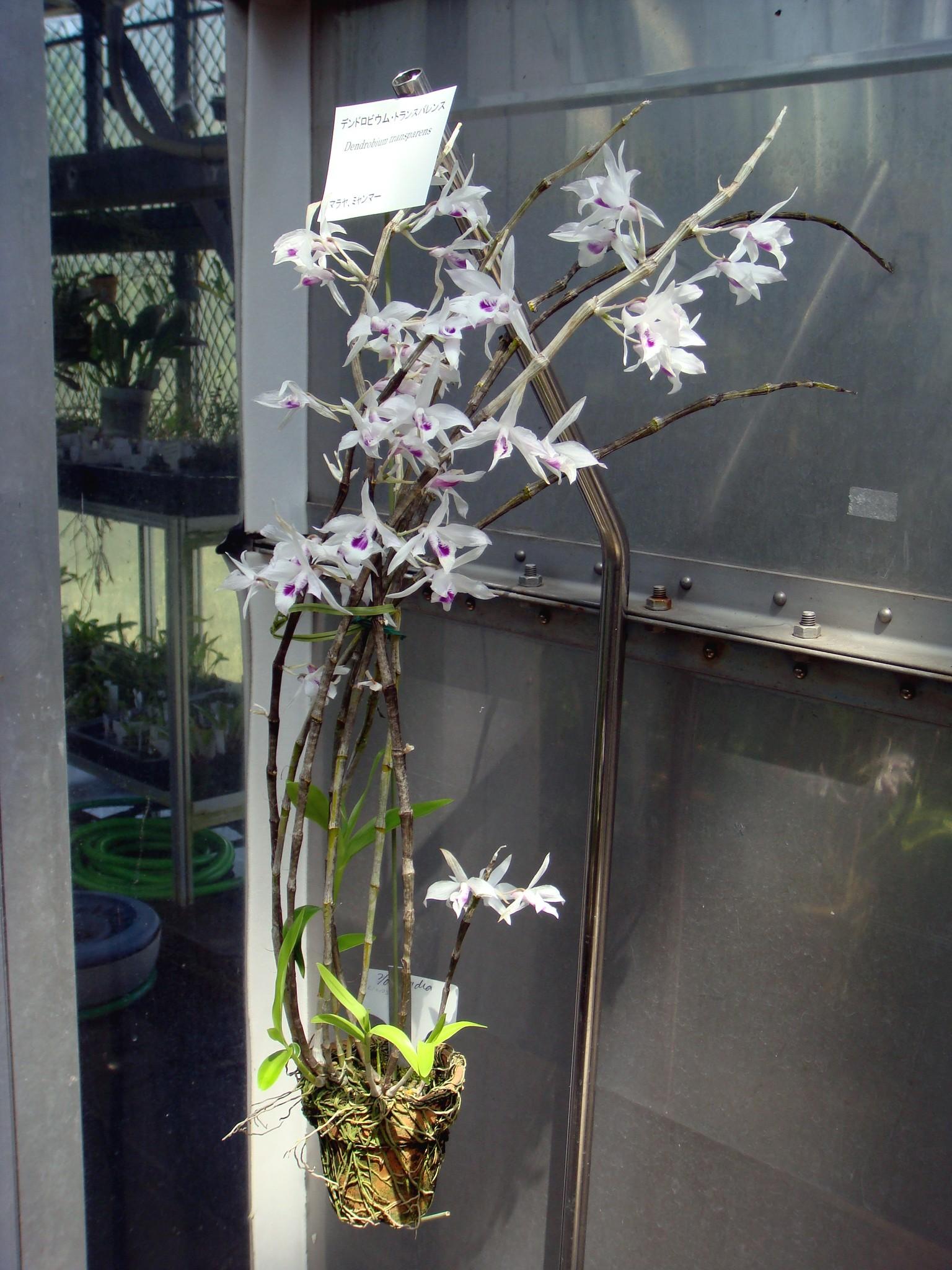 http://orchids.la.coocan.jp/Dendrobium/Dendrobium%20transparens/DSC04763.JPG