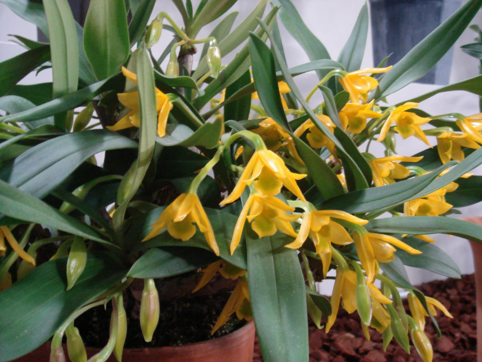 http://orchids.la.coocan.jp/Dendrobium/Dendrobium%20trigonopus/DSC06458.JPG