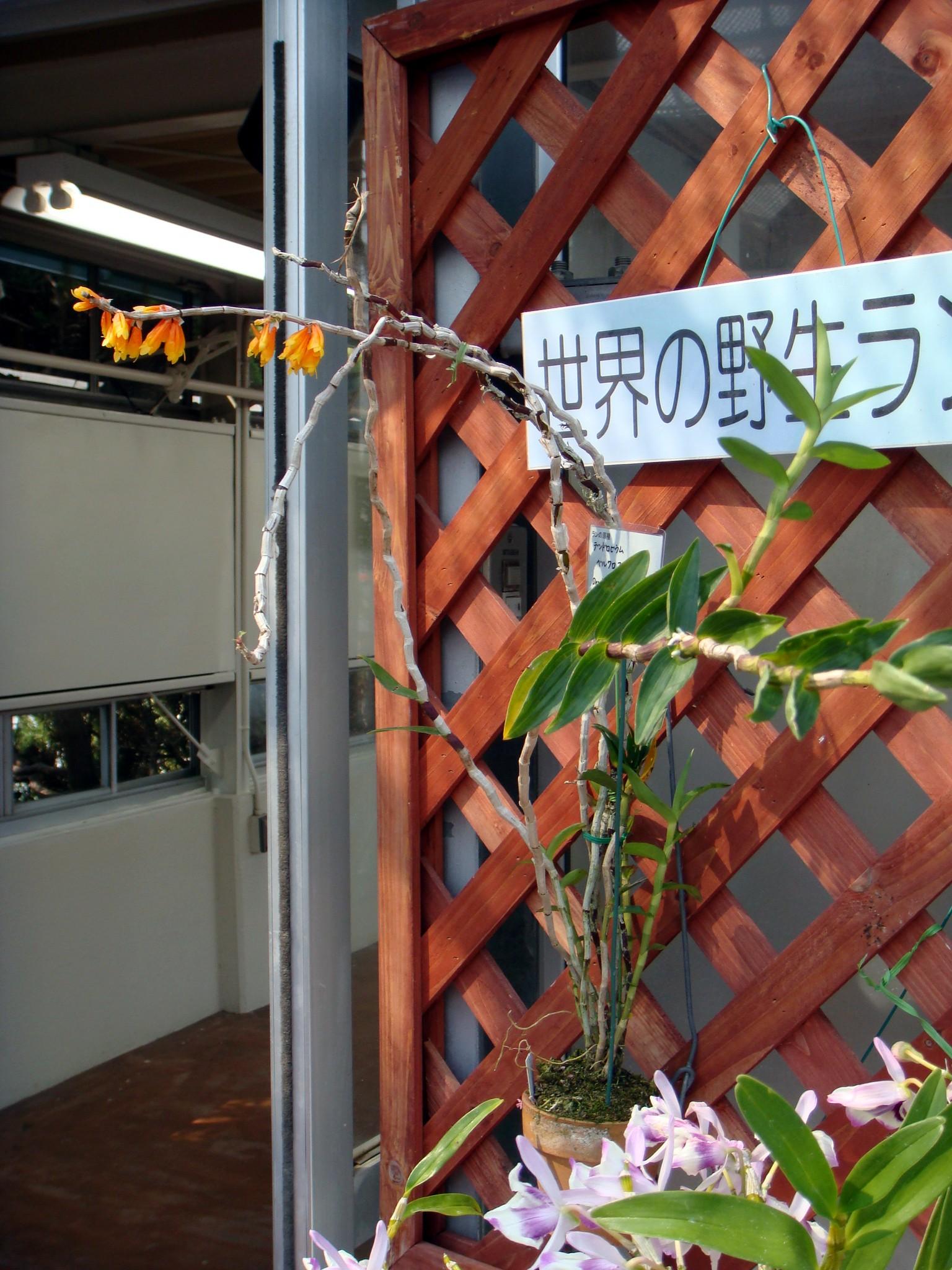 http://orchids.la.coocan.jp/Dendrobium/Dendrobium%20verruculosum/DSC04247.JPG