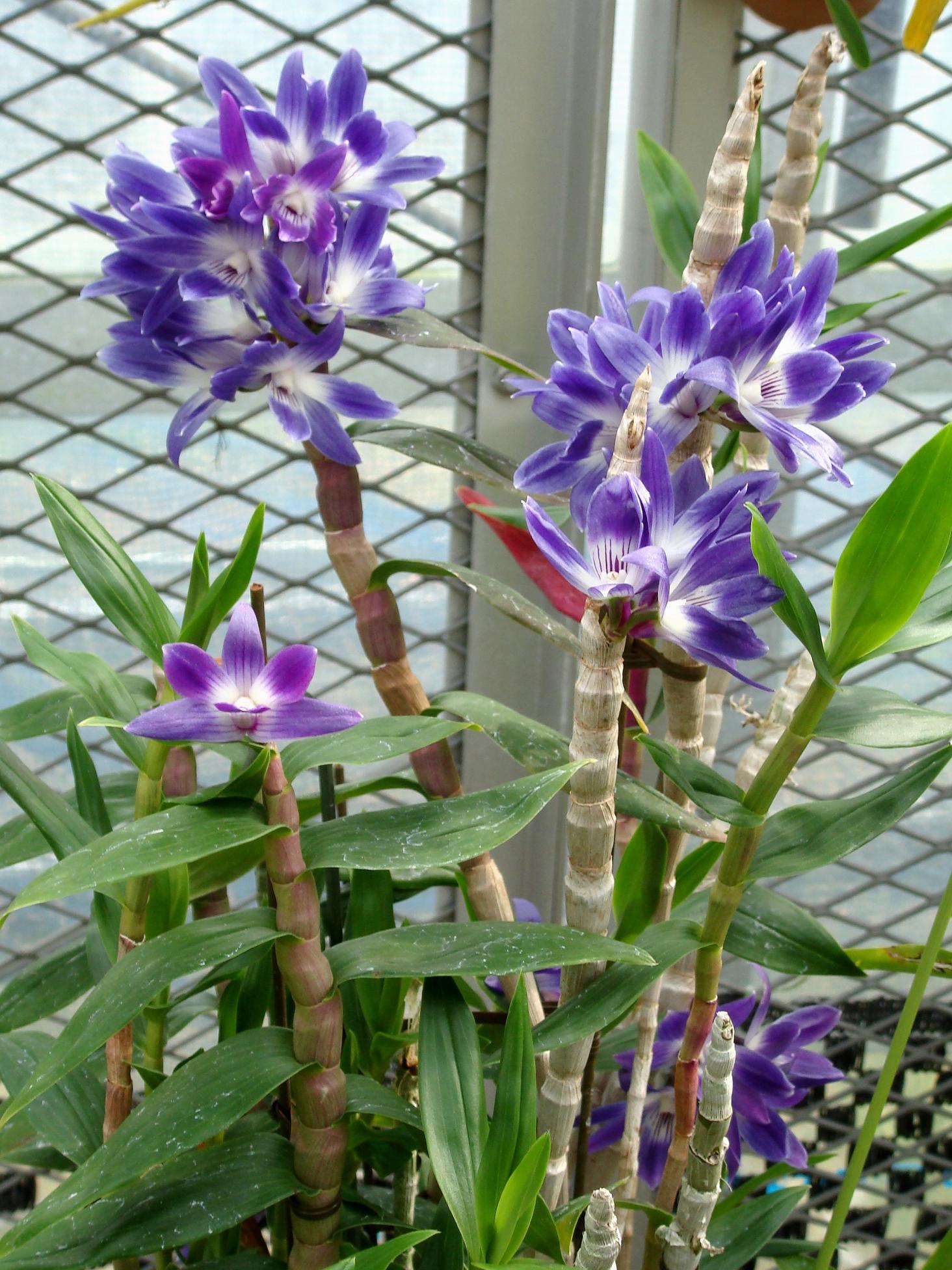 http://orchids.la.coocan.jp/Dendrobium/Dendrobium%20victoria-reginae/DSC03314.JPG