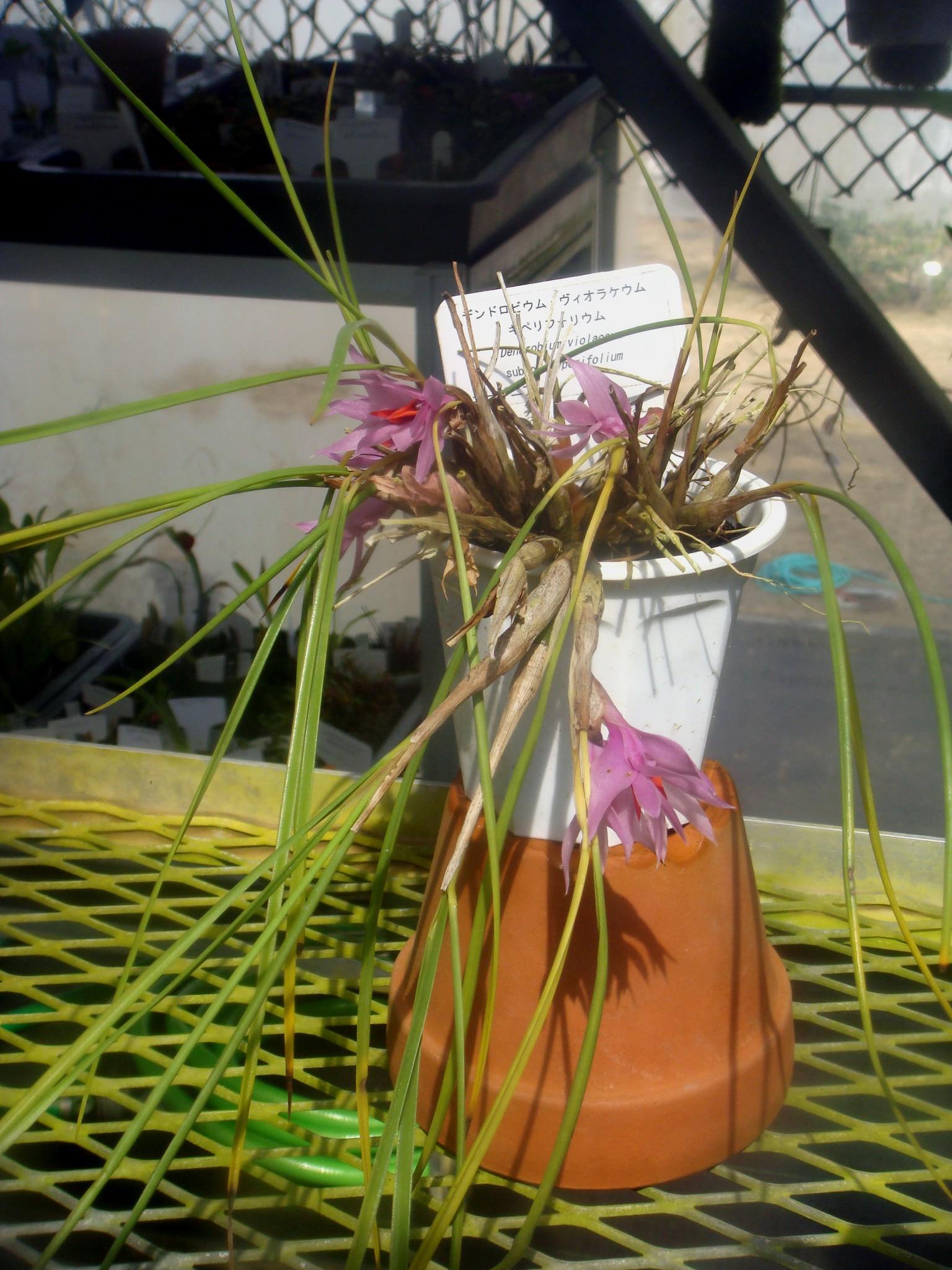 http://orchids.la.coocan.jp/Dendrobium/Dendrobium%20violaceum%20cyperifolium/DSC05894.JPG