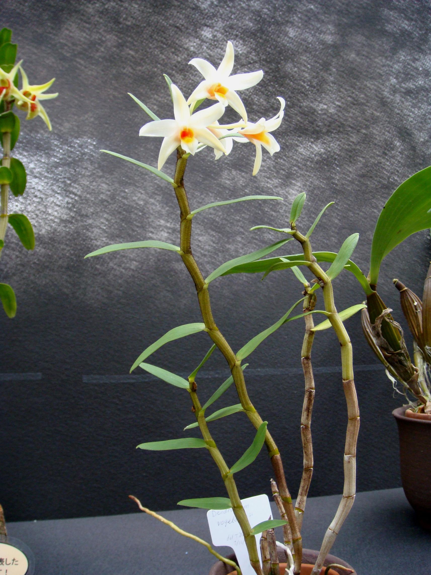 http://orchids.la.coocan.jp/Dendrobium/Dendrobium%20vogelsangii/DSC03194.JPG