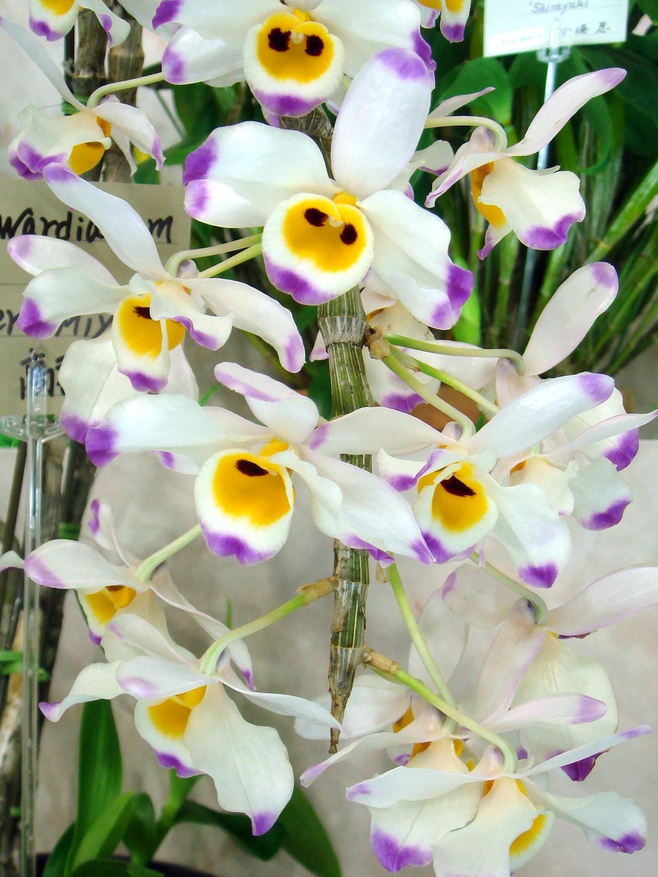 http://orchids.la.coocan.jp/Dendrobium/Dendrobium%20wardianum/DSC01698.JPG