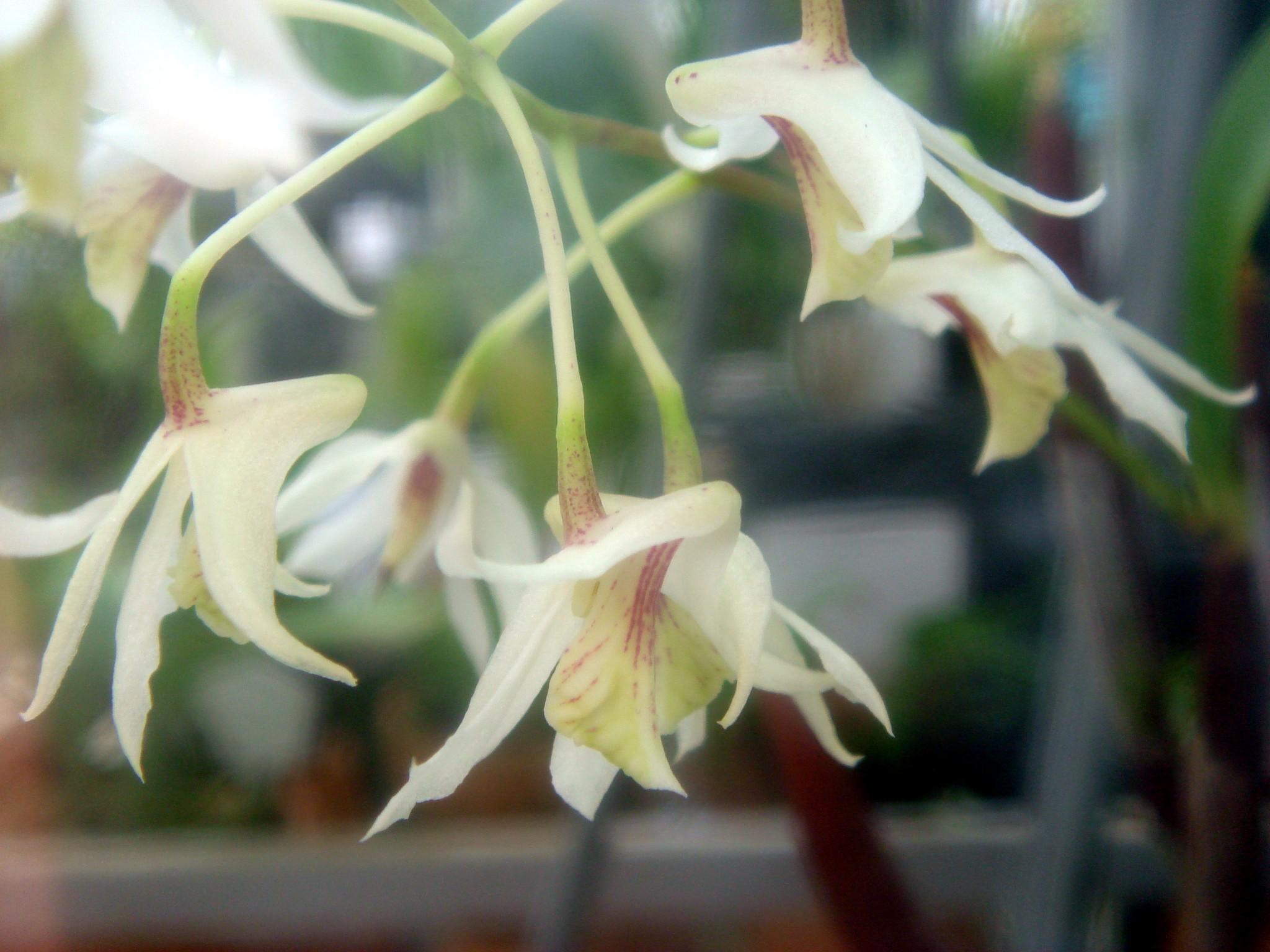 http://orchids.la.coocan.jp/Dendrobium/Dendrobium%20wisselense/DSC02651.JPG