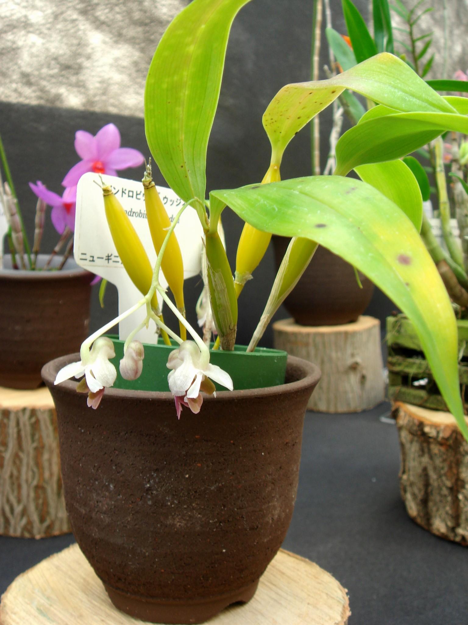 http://orchids.la.coocan.jp/Dendrobium/Dendrobium%20woodsii/DSC08898.JPG