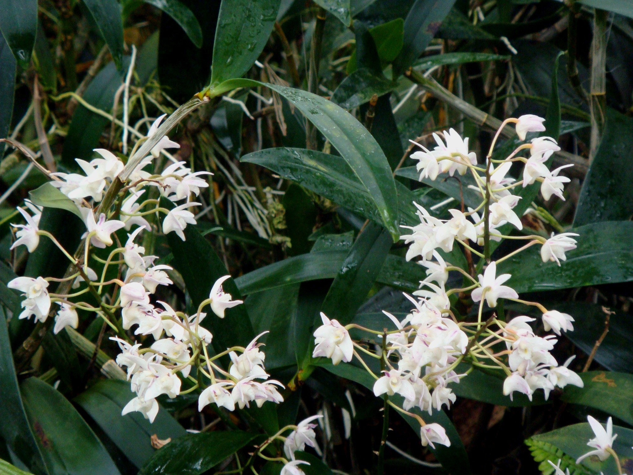 http://orchids.la.coocan.jp/Dendrobium/Dendrobium%20x%20delicatum/DSC08919.JPG