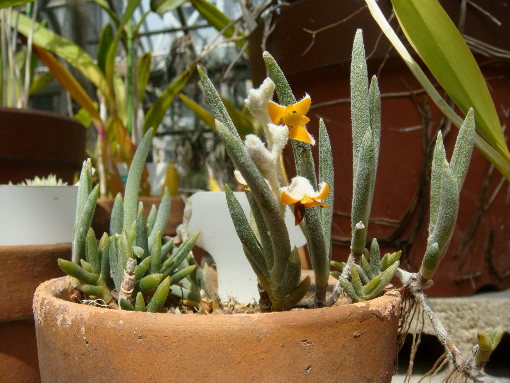 http://orchids.la.coocan.jp/Eria/Eria%20pannea/DSC01802.JPG