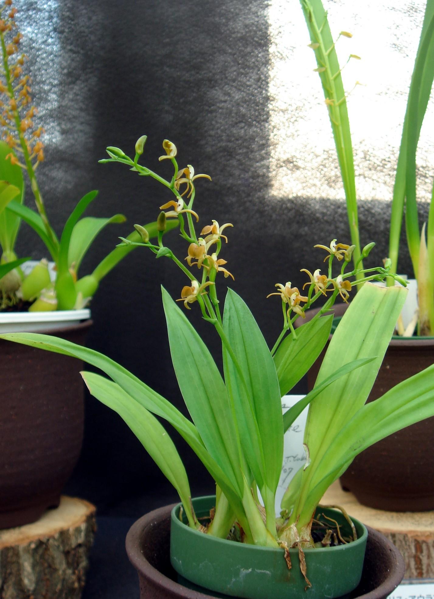 http://orchids.la.coocan.jp/Liparis/Liparis%20balansae/DSC09428.JPG