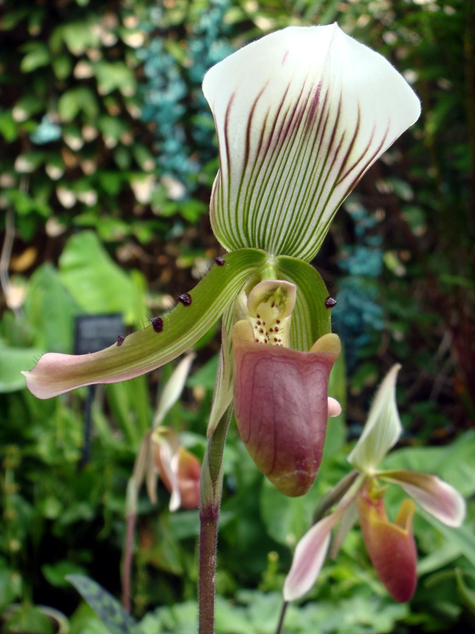 http://orchids.la.coocan.jp/Paphiopedilum/Paphiopedilum%20callosum/DSC05456.JPG