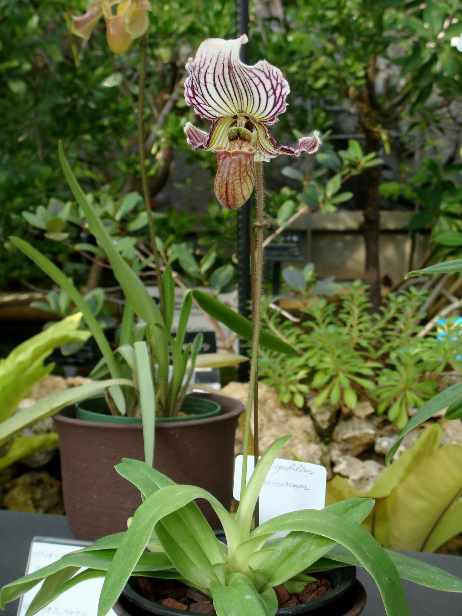 http://orchids.la.coocan.jp/Paphiopedilum/Paphiopedilum%20fairrieanum/DSC04562.JPG