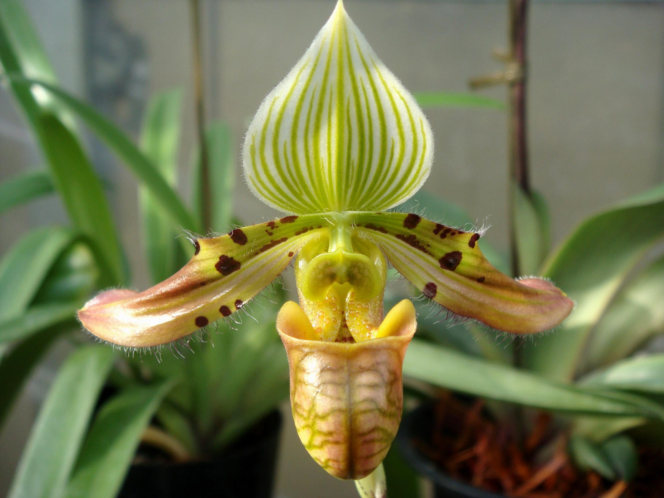 http://orchids.la.coocan.jp/Paphiopedilum/Paphiopedilum%20venustum/DSC05864.JPG
