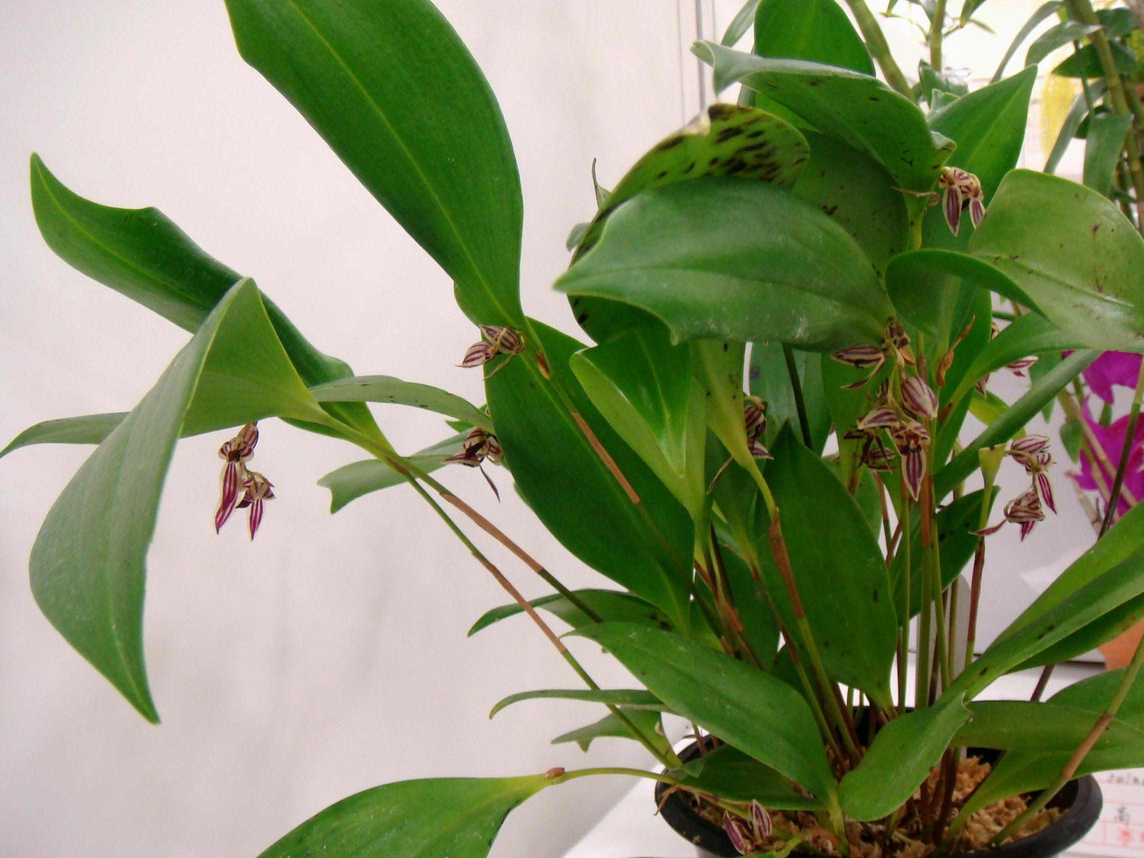 http://orchids.la.coocan.jp/Pleurothallis/Pleurothallis%20secunda/DSC05197.JPG