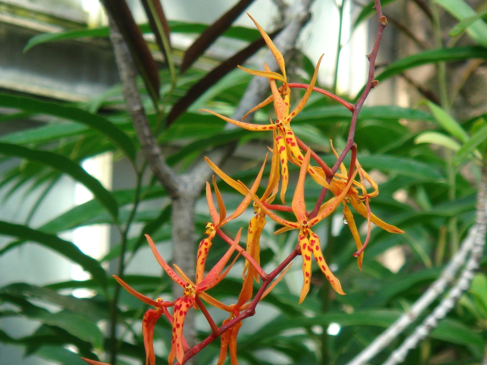 http://orchids.la.coocan.jp/Renanthera/Renanthera%20angustifolia/DSC01680.JPG