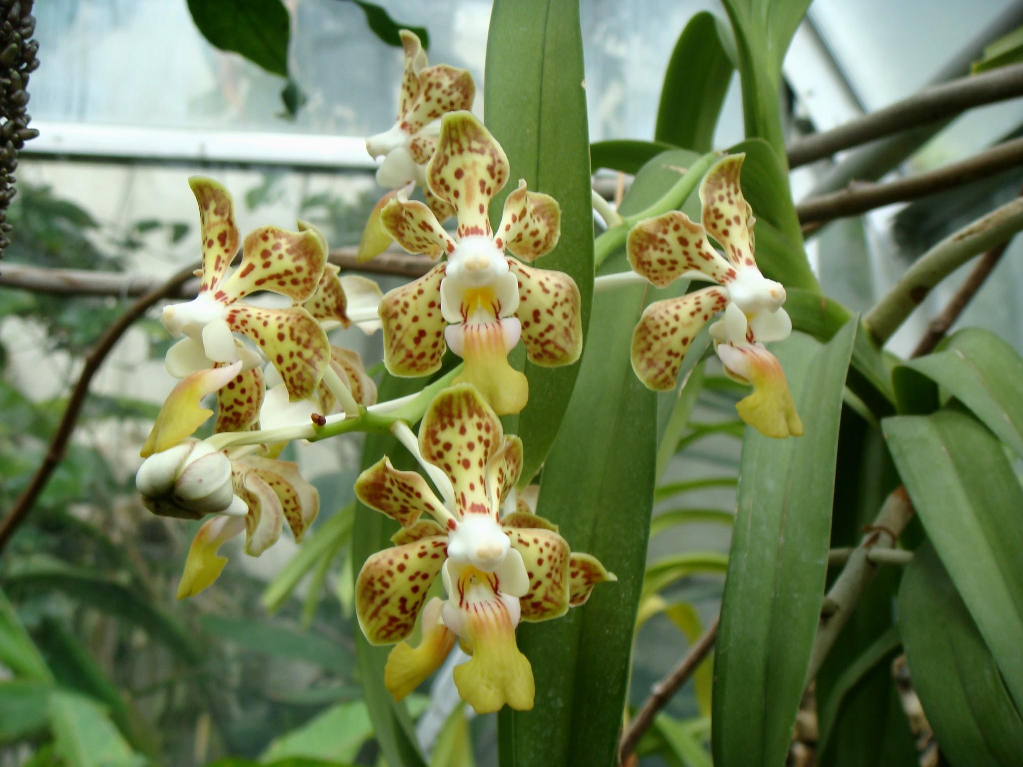 http://orchids.la.coocan.jp/Vanda/Vanda%20denisoniana/DSC09567.JPG